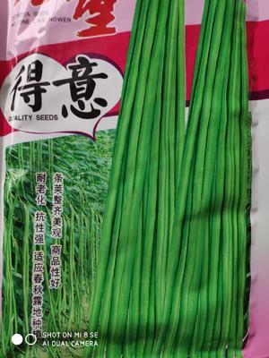 江苏省宿迁市沭阳县油青豆角种子 ≥90%