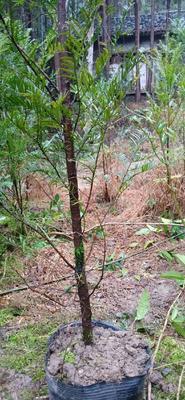 江西省宜春市宜丰县南方红豆杉 1.5~2米