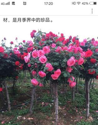 天津东丽区树状月季
