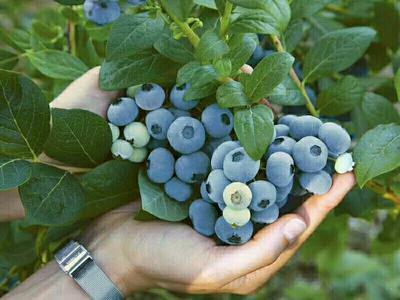 辽宁省大连市庄河市蓝丰蓝莓 12 - 14mm以上 鲜果
