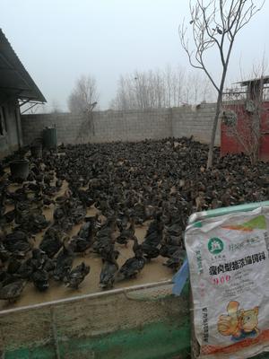 江苏省徐州市贾汪区绿头鸭 2-3斤