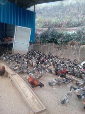 江西省宜春市袁州区绿头鸭 3-5斤