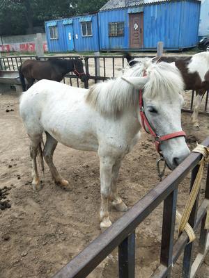 山东省菏泽市郓城县改良矮马 200-400斤