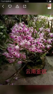 云南省保山市龙陵县野生黄草石斛