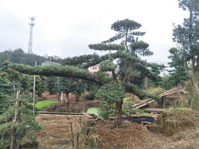 湖南省株洲市石峰区罗汉松