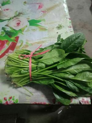 山东省德州市临邑县小叶菠菜 30~35cm
