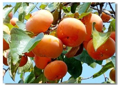 安徽省芜湖市南陵县苹果柿 3 - 4两以上