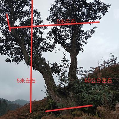 贵州省六盘水市盘县马缨杜鹃 5米以上