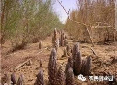 新疆维吾尔自治区乌鲁木齐市乌鲁木齐县肉苁蓉