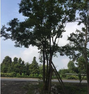 四川省成都市郫县厚朴树
