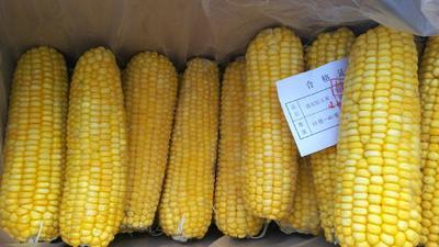 黑龙江省大庆市让胡路区速冻糯玉米  成箱的200箱不包邮