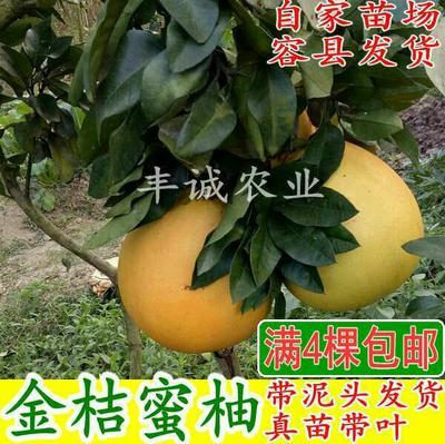 金橙蜜柚苗