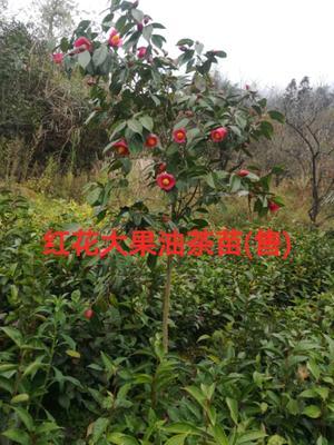 广西壮族自治区桂林市平乐县 红花油茶树