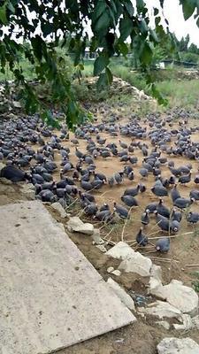 贵州省铜仁市松桃苗族自治县灰色珍珠鸡 2-4斤