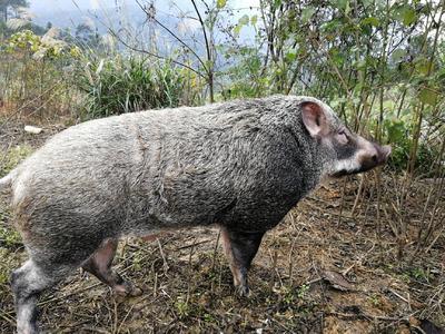 广西壮族自治区梧州市蒙山县特种野猪 公 120斤以上