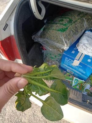 山东省菏泽市牡丹区圆叶菠菜 10~15cm