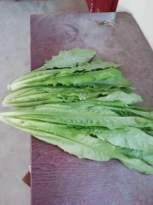 山东省青岛市莱西市青油麦 30~35cm