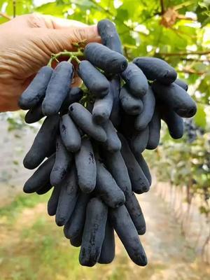 蓝宝石葡萄苗 南北方种植保证对版假一赔十带土球发货