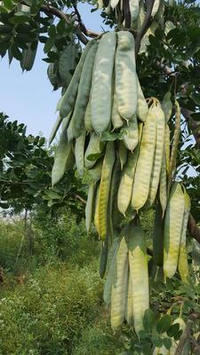 河南省新乡市牧野区皂角树 1—50公分皂角树