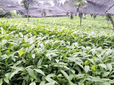 云南省文山壮族苗族自治州文山市草果苗 丛生苗 0.5米以下