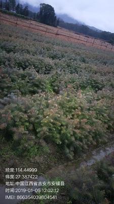 江西省吉安市安福县杉木树苗