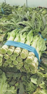 浙江省台州市路桥区红叶香莴苣 1.5~2.0斤 50-60cm