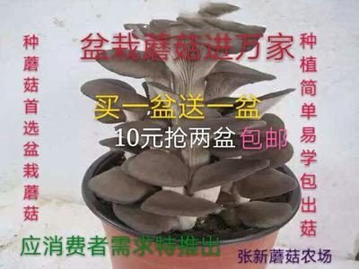 河北省邯郸市临漳县蘑菇  盆栽蘑菇平菇