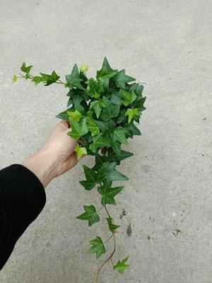 广东省广州市荔湾区金边常春藤吊兰 30cm以下