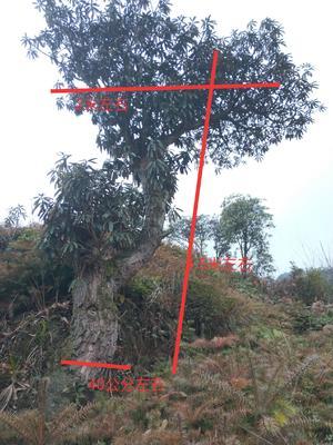 贵州省六盘水市盘县马缨杜鹃 3.5米~5米