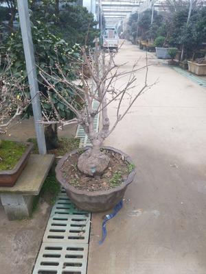 江苏省宿迁市沭阳县素心腊梅 0.5~1米