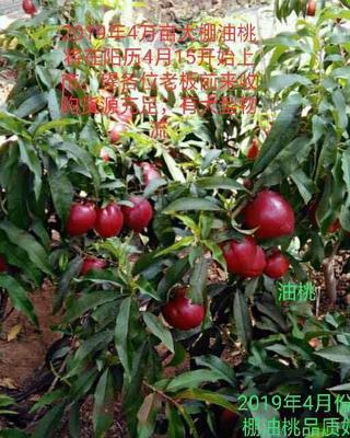 山东省临沂市沂水县中油4号油桃 2两以上 55mm以上