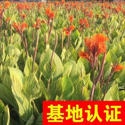 浙江省杭州市萧山区青州美人蕉 花叶美人蕉