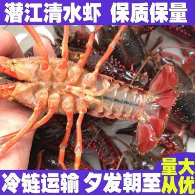 重庆北碚区潜江小龙虾 5-7钱 人工殖养