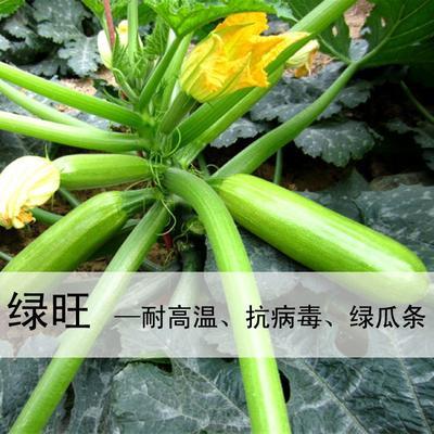 山东省潍坊市寿光市绿旺西葫芦种子  耐热抗病毒油亮型