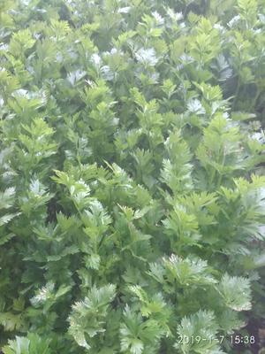 河南省许昌市禹州市皇妃芹菜 60cm以上 0.5斤以下 大棚种植