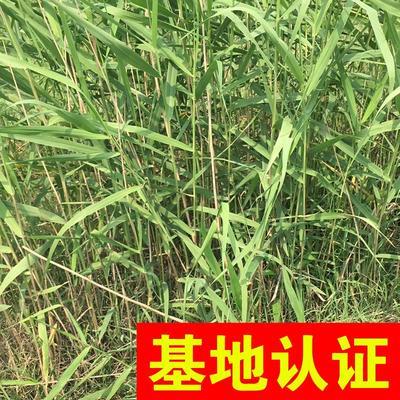 浙江省杭州市萧山区芦苇