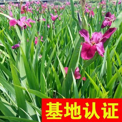 浙江省杭州市萧山区鸢尾  西伯利亚鸢尾