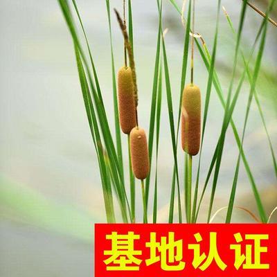 浙江省杭州市萧山区小香蒲 香蒲