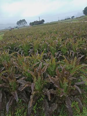 广西壮族自治区桂林市临桂县红叶莴笋 1.5~2.0斤 50-60cm