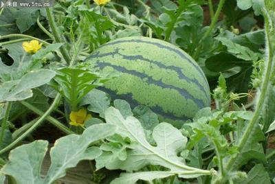 重庆涪陵区甜王西瓜 6斤打底 9成熟 1茬 有籽