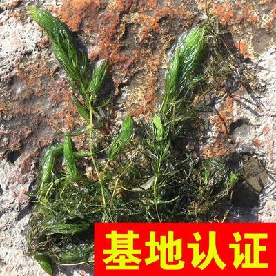 浙江省杭州市萧山区黑王子 金鱼藻