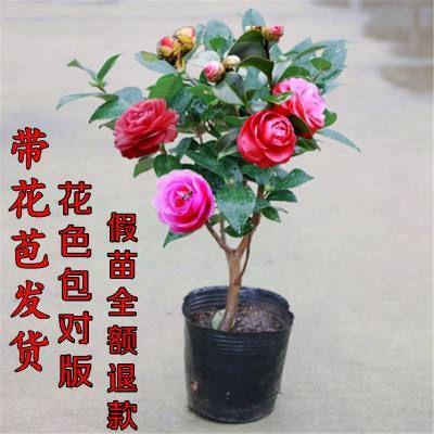 山东省临沂市平邑县赤丹 20~30cm