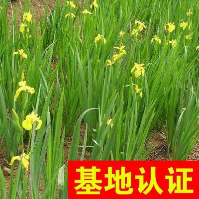 浙江省杭州市萧山区黄菖蒲