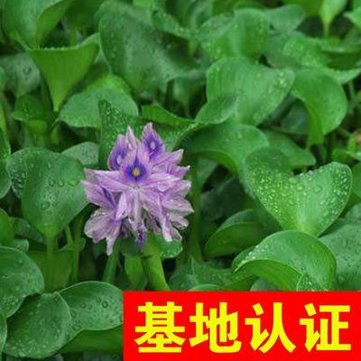 浙江省杭州市萧山区水葫芦  凤眼莲