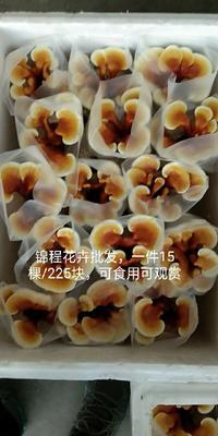福建省漳州市龙海市观赏灵芝