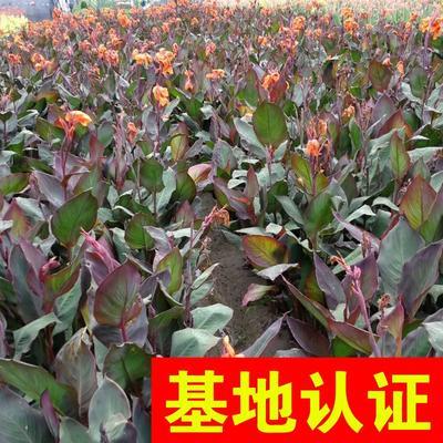 浙江省杭州市萧山区紫叶美人蕉 20cm以上 1~2米