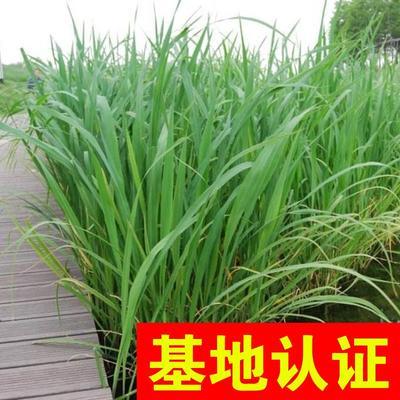 浙江省杭州市萧山区大白茭 25-35cm