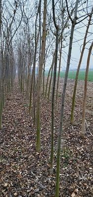 河南省南阳市镇平县速生白蜡  3~3.5米 两到六公分速生白蜡树