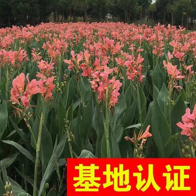 浙江省杭州市萧山区粉美人蕉 水生美人蕉