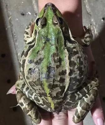 重庆北碚区黑斑蛙